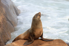 Cape Fur Seal. At Namaqua National Park - South Africa royalty free stock image