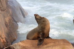 Cape Fur Seal royalty free stock photography