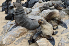 Cape fur seal, Namibia Royalty Free Stock Image
