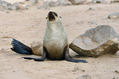 Cape fur seal, Namibia Royalty Free Stock Photos