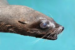 Cape Fur Seal Portrait Stock Photo
