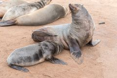 Cape Fur Seal pup, Arctocephalus pusillus, suckling Royalty Free Stock Photo