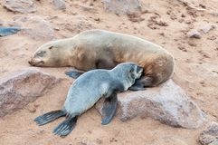 Cape Fur Seal pup, Arctocephalus pusillus, suckling Stock Images