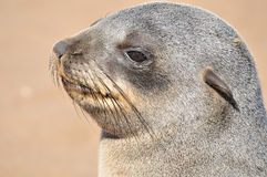 Cape Fur Seal pup Stock Photography