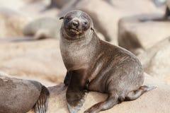 Cape Fur Seal Pup Stock Image