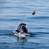 Cape Fur Seal. A Cape Fur Seal with it`s catch in False Bay, South Africa royalty free stock image