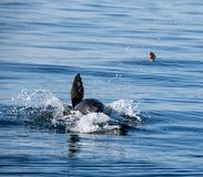 Cape Fur Seal. A Cape Fur Seal with it`s catch in False Bay, South Africa royalty free stock photo