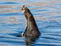Cape Fur Seal. A Cape Fur Seal with it`s catch in False Bay, South Africa stock photography