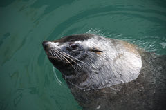Cape fur seal. Smiling brown fur seal in the water, also known as the Cape fur seal, South African fur seal and the Australian fur seal is a species of fur seal royalty free stock photos