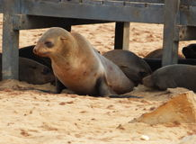 Cape Fur Seal. South African fur seal at Cape Cross, Namibia Stock Image
