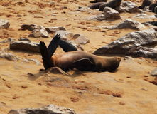 Cape Fur Seal. South African fur seal resting at Cape Cross, Namibia Stock Photos