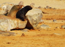 Cape Fur Seal. South African fur seals - mother and young at Cape Cross, Namibia Stock Photography