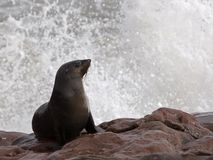 Cape fur seal with a splash Royalty Free Stock Image