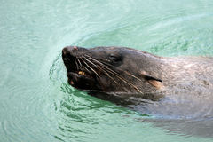 Cape fur seal swims Cape town Royalty Free Stock Photos