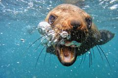 Cape Fur Seal Underwater blowing bubbles royalty free stock image
