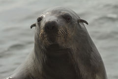 Cape Fur Seal, Walvis Bay, Namibia Stock Images