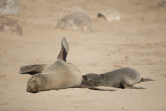 Cape fur Seals Royalty Free Stock Photos