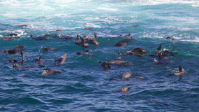 Cape Fur Seals Stock Photos