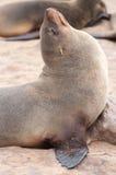 Cape Fur Seals Stock Image