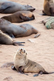 Cape Fur Seals Royalty Free Stock Photo
