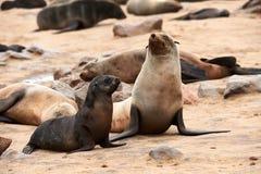 Cape fur seals Arctocephalus pusillus, Cape cross Namibia. Mother and cub of Cape fur seal Arctocephalus pusillus photographed at Cape cross in Namibia where stock image