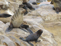 Cape Fur Seals. (Arctocephalus pusillus) at Duiker Island, near Hout Bay, Cape Town, South Africa stock photography