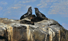 Cape fur seals (Arctocephalus pusillus pusillus) Stock Photography
