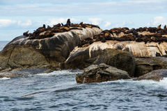 Cape Fur Seals Arctocephalus pusillus at Seal Island, South Africa Stock Photography