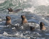 Cape fur seals battling the waves Royalty Free Stock Photo