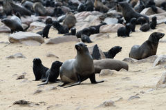 Cape fur seals on Cape Cross, Namibia Royalty Free Stock Photo