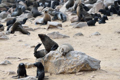 Cape fur seals on Cape Cross, Namibia Stock Image