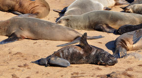 Cape fur seals at Cape Cross Seal Reserve in Namibia Royalty Free Stock Photo