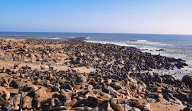 Cape fur seals at Cape Cross Seal Reserve in Namibia Royalty Free Stock Image