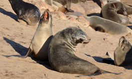 Cape fur seals at Cape Cross Seal Reserve in Namibia Stock Photos