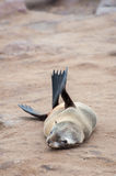 Cape Fur Seals Stock Photography