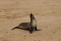 Cape fur seals Stock Images