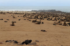 Cape fur seals Royalty Free Stock Image