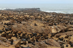 Cape fur seals Stock Image