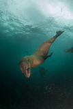 Cape fur seals diving down underwater Royalty Free Stock Image