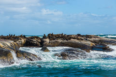 Cape Fur Seals at Duiker Island, South Africa Stock Images