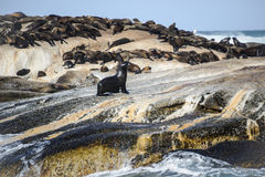 Cape Fur Seals at Duiker Island, South Africa Royalty Free Stock Photo
