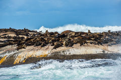 Cape Fur Seals at Duiker Island, South Africa Royalty Free Stock Photography