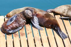 Cape fur seals lying on wooden jetty under sun in the city Cape Town, South Africa, Victoria and Alfred Waterfront area. Mother and baby sleeping stock image