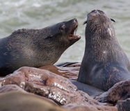 Cape Fur Seals - Namibia Royalty Free Stock Photo