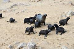 Cape fur seals, Namibia Stock Photos