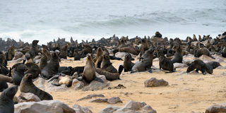 Cape fur seals, Namibia Royalty Free Stock Image