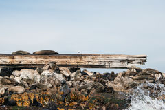 Cape fur seals on Prince Port shipwreck Stock Image