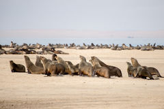 Cape fur seals running for water Stock Photos