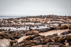 Cape fur seals sitting on a rock stock photo