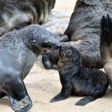 Cape fur seals, Skeleton Coast, Namibia Stock Images